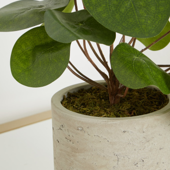 Pancake Plant in Concrete Pot - 32 cms